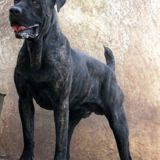 Looney, Chien cane corso à adopter