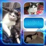 Lilou, Chat européen à adopter
