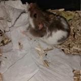 Bigoudi, Animal à adopter