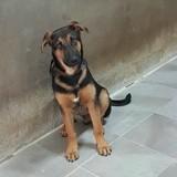 Salao, Chien berger allemand, chien courant espagnol à adopter
