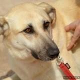 Turky, Chien chien courant espagnol, mastiff à adopter