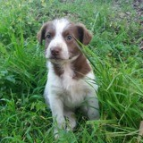 Choco, Chiot à adopter