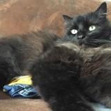 Lilou, Chat maine coon, européen à adopter