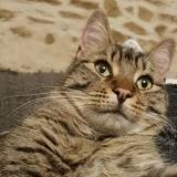 Nyoki, Chat européen à adopter
