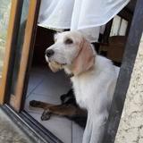 Gaufrette, Chien griffon fauve de bretagne à adopter