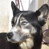 Gaya, Chiot husky sibérien à adopter