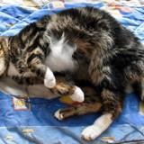 (sos) margot boite à ronrons, Chat à adopter