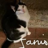 Janis, Chaton européen à adopter
