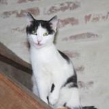 Tina, Chaton européen à adopter