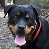 Marco, Chien rottweiler à adopter
