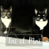 Maï et taï, Chaton européen à adopter