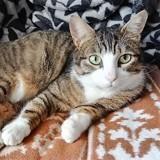 Fredo, Chat européen à adopter