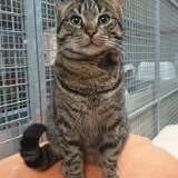 Tigron, Chat européen à adopter