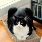 Félix, Chat à adopter