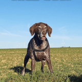 Canaille, Chien à adopter