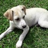 Yuki, chiot mâle croisé créole, Chiot à adopter
