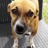 Heol, petit chien mâle adulte croisé pinscher, Chien à adopter