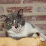 Louka, Chat européen à adopter