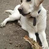 Mia, Chien labrador retriever à adopter