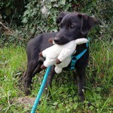 Alice, Chiot à adopter