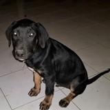 Panjo, chiot mâle croisé non lof, Chiot à adopter