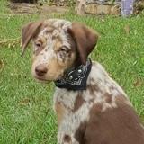 Kelsy, chiot femelle croisée non lof, Chiot à adopter