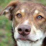 Obi one tout jeune chien croisé créole, Chien à adopter