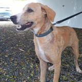 Tobias, jeune chien mâle croisé créole, Chiot à adopter