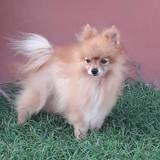 Tibou, petit chien mâle croisé spitz, Chien à adopter