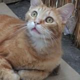 Simba chat tigré/roux de 5 ans, Chat à adopter