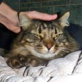 Griboulle adorable chat au pelage angora, Chat à adopter