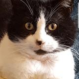 Jensen, Chat européen à adopter