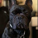 Chanel, Chien bouledogue français à adopter