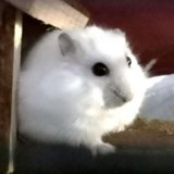 Yuki hamster russe, Animal à adopter