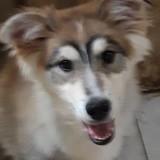 Oboy, Chiot husky sibérien, setter anglais à adopter