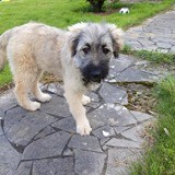Masha, Chiot à adopter