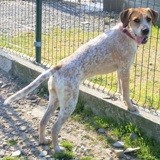 Holly, Chien pointer anglais à adopter