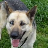 Deesse, Chien berger allemand, husky sibérien à adopter