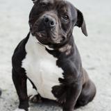 Maya, Chien american staffordshire terrier à adopter