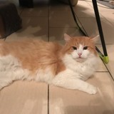 Poilu, Chat européen à adopter