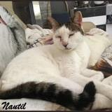 Nautil, Chat européen à adopter