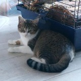 Cassiopée, Chat européen à adopter
