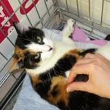 Akita, Chat européen à adopter