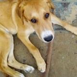 Wallace, Chiot husky sibérien à adopter