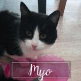 Myo, Chaton européen à adopter