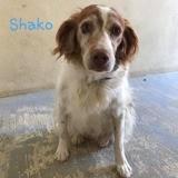 Shaco, Chien Épagneul breton à adopter