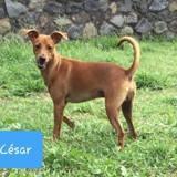 Cesar, Chien pinscher à adopter