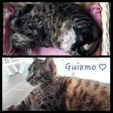 Guizmo, Chat à adopter