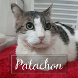 Patachon, Chat européen à adopter