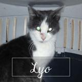 Lyo, Chaton européen à adopter